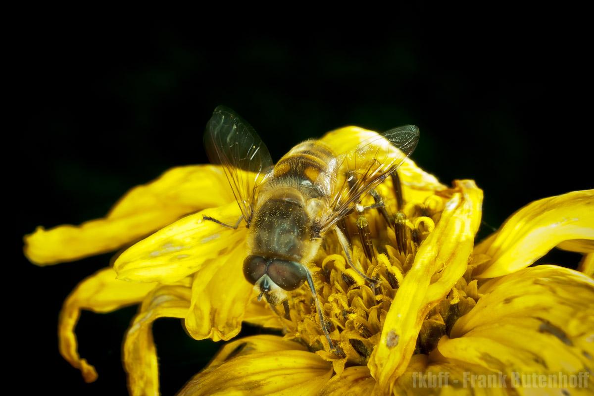 Gemeine Garten-Schwebfliege (Syrphus ribesii)