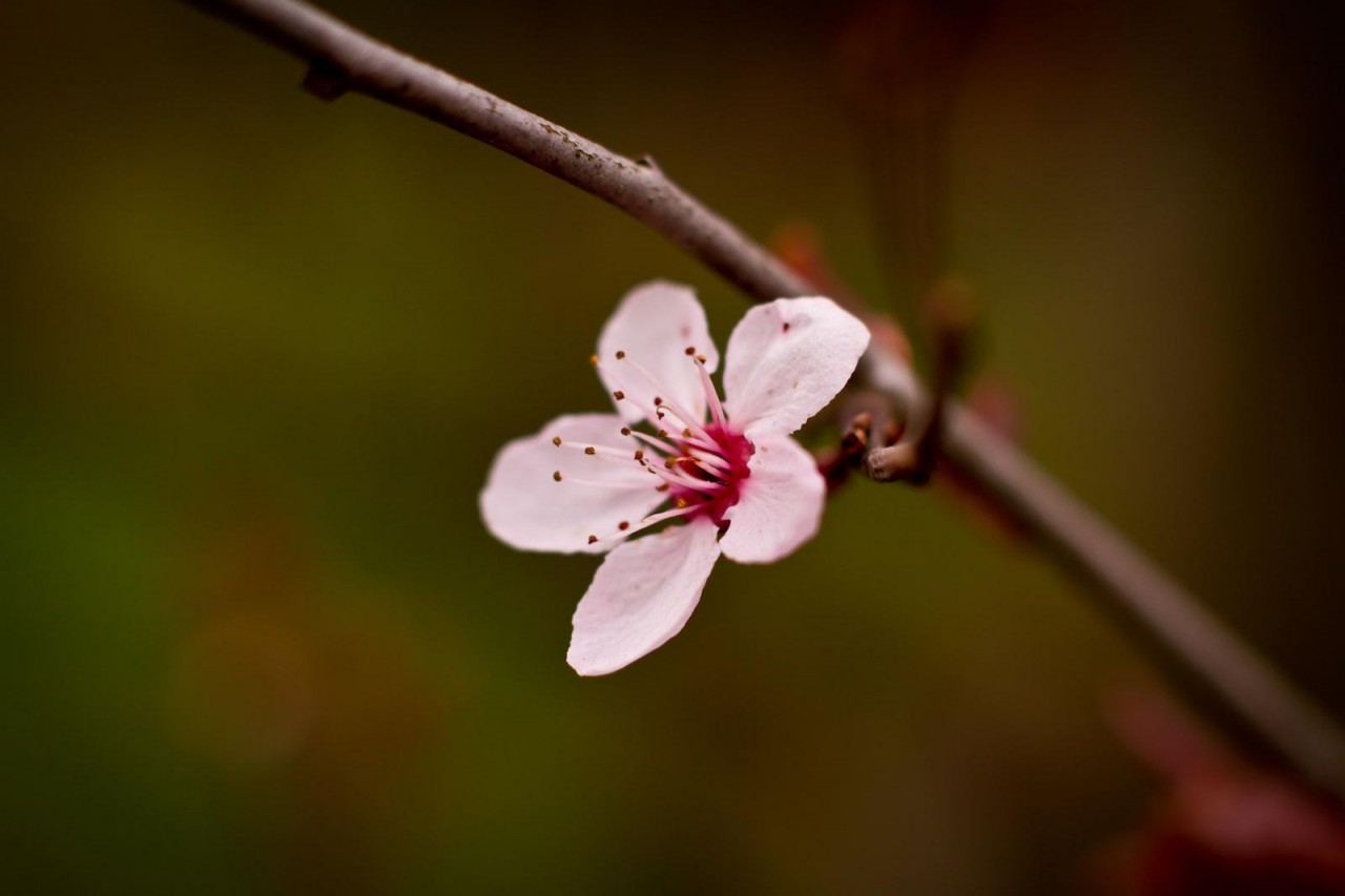 Eine Blüte der Zierpflaume