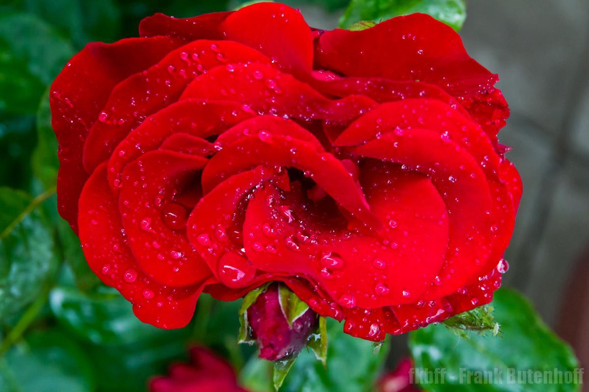 Rote Rosen nach einem Regenguss im Sommer