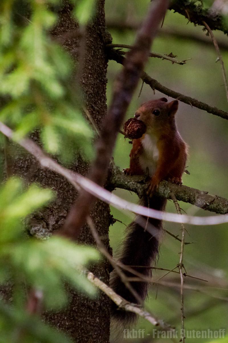 Eichhörnchen mit Zapfen