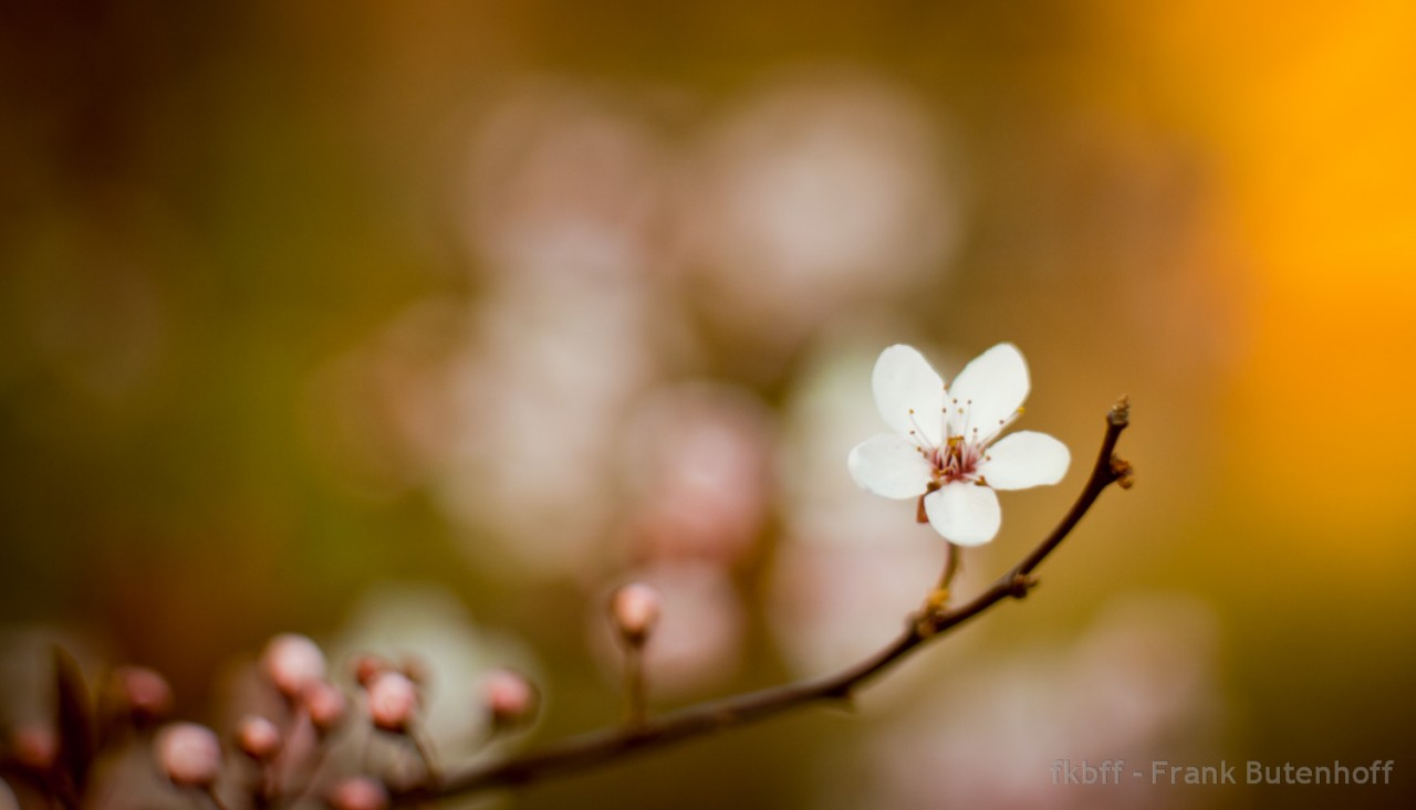 Die erste Kirschblüte