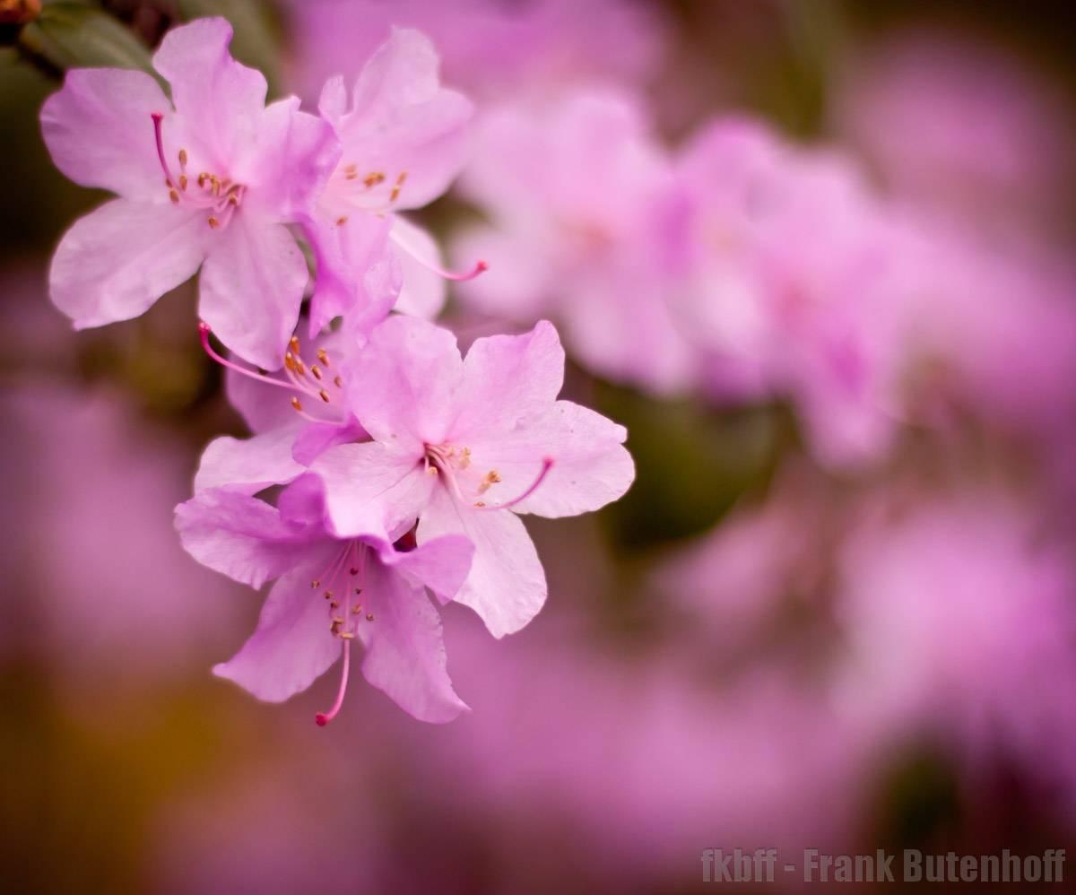Blüten Pink