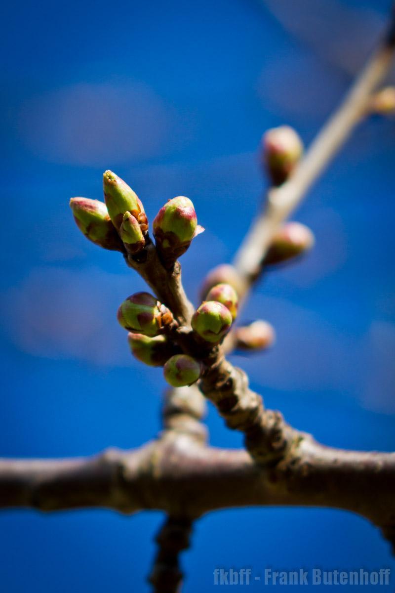 Knospen am Apfelbaum