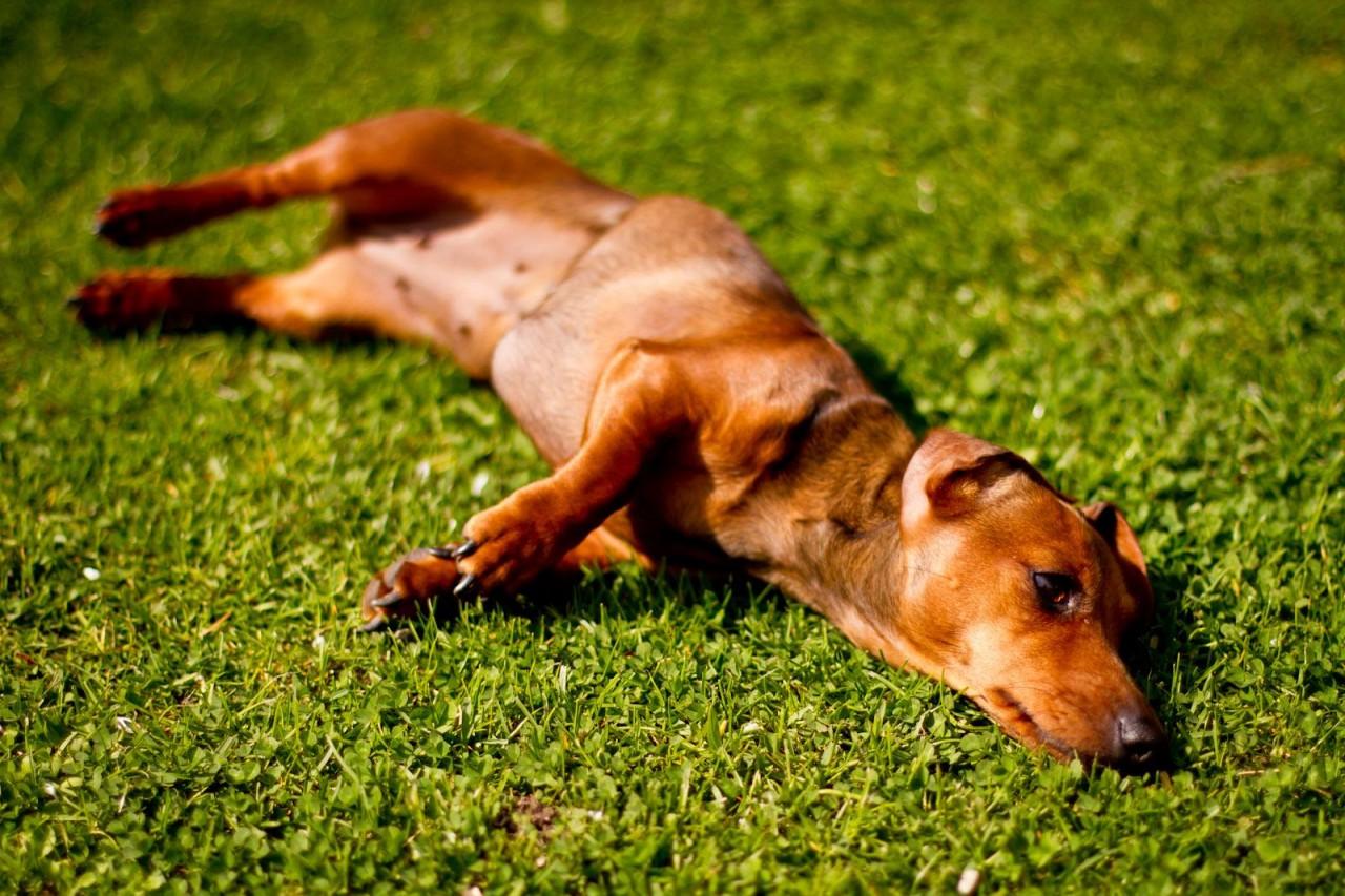 Hummel auf dem Rasen