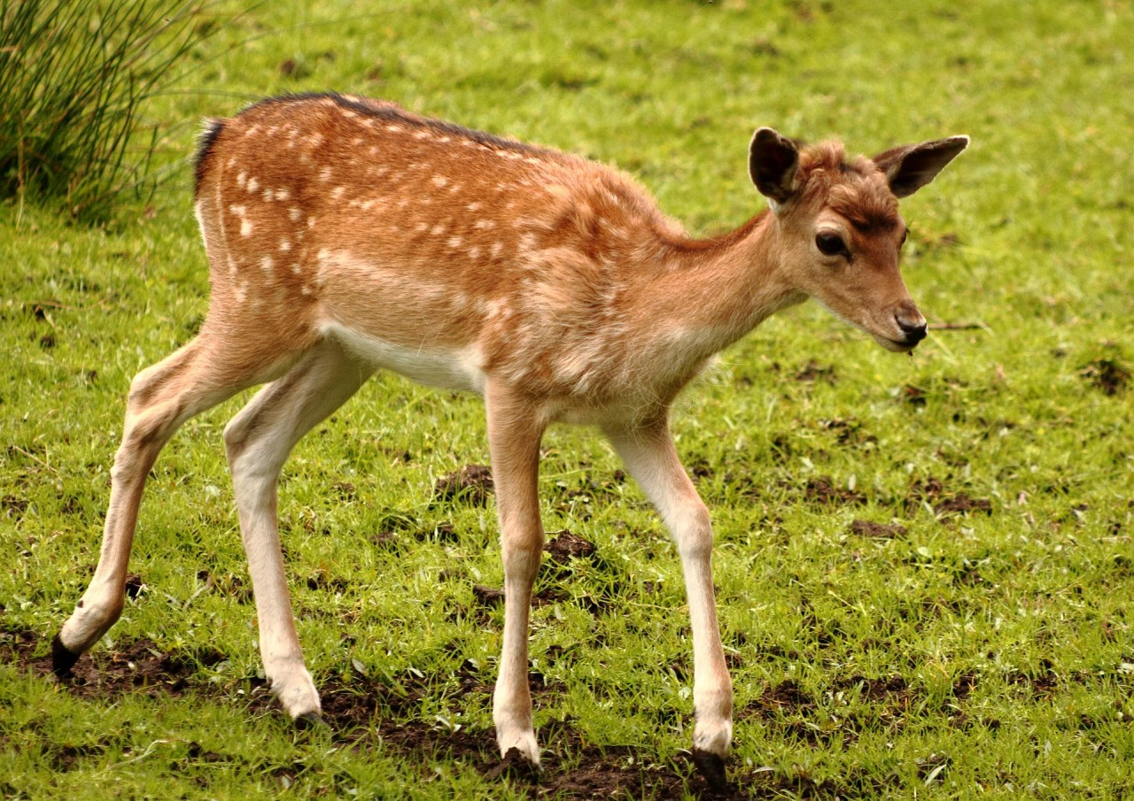 Rotwildkitz im Wildpark Eekholt