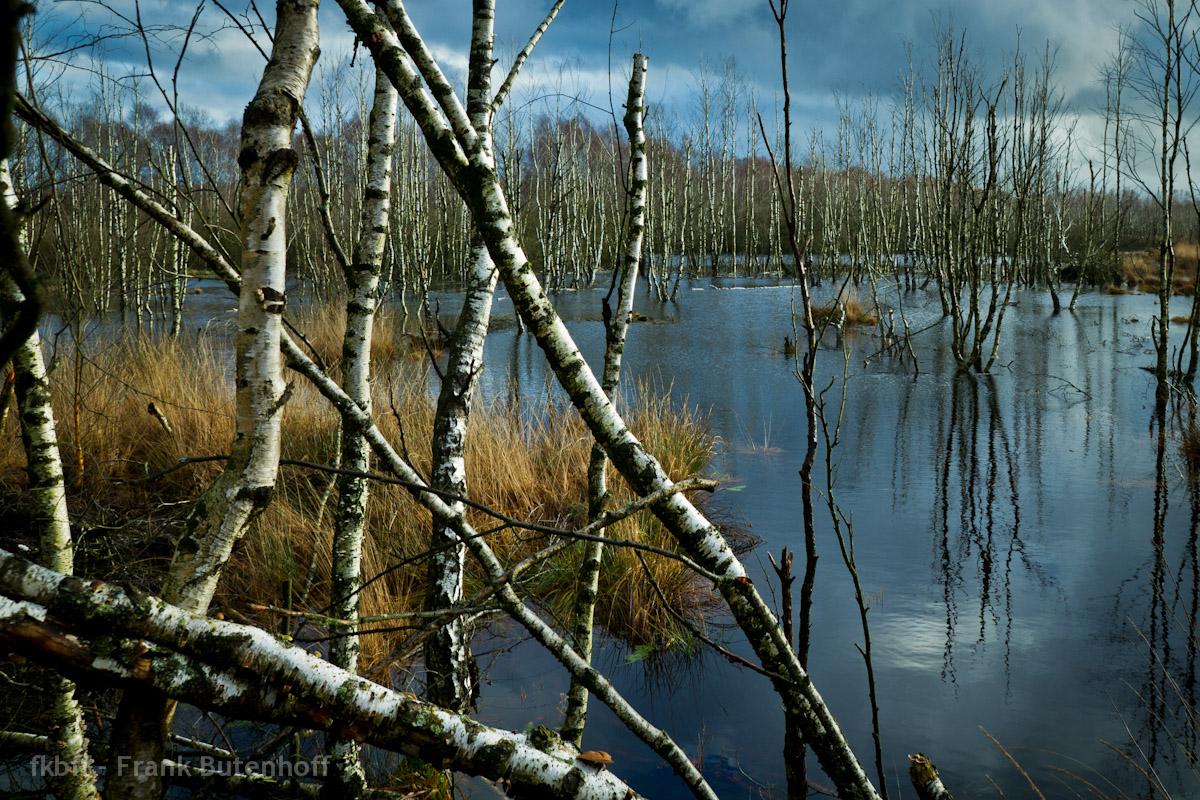 Birken im Wasser